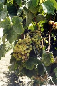 leckere Weintrauben